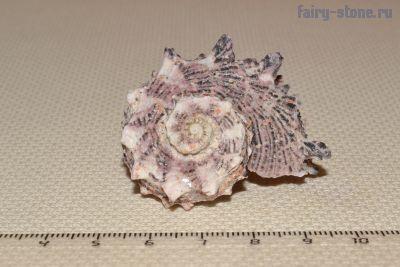 Морская раковина Angaria